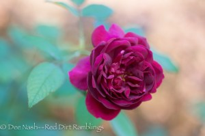 English rose 'Darcey Bussell' isn't showing any signs of Rose Rosette so far. Garden holes of opportunity