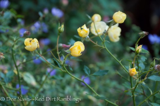 Rosa OSO Easy® Lemon Zest given to me by Proven Winners is a cute little thing.