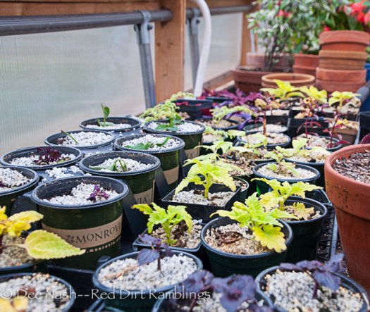 The cuttings one week ago. After sterilizing the pots with a bleach solution, I reuse them for cuttings and seed starting.