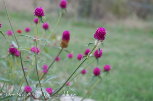 Gomphrena globosa QIS Pink is stunning in the street garden. I love those QIS varieties.