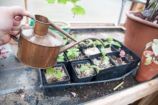 I dip my small watering can in the buckets and use it to fertilize the cuttings and other plants in the greenhouse.