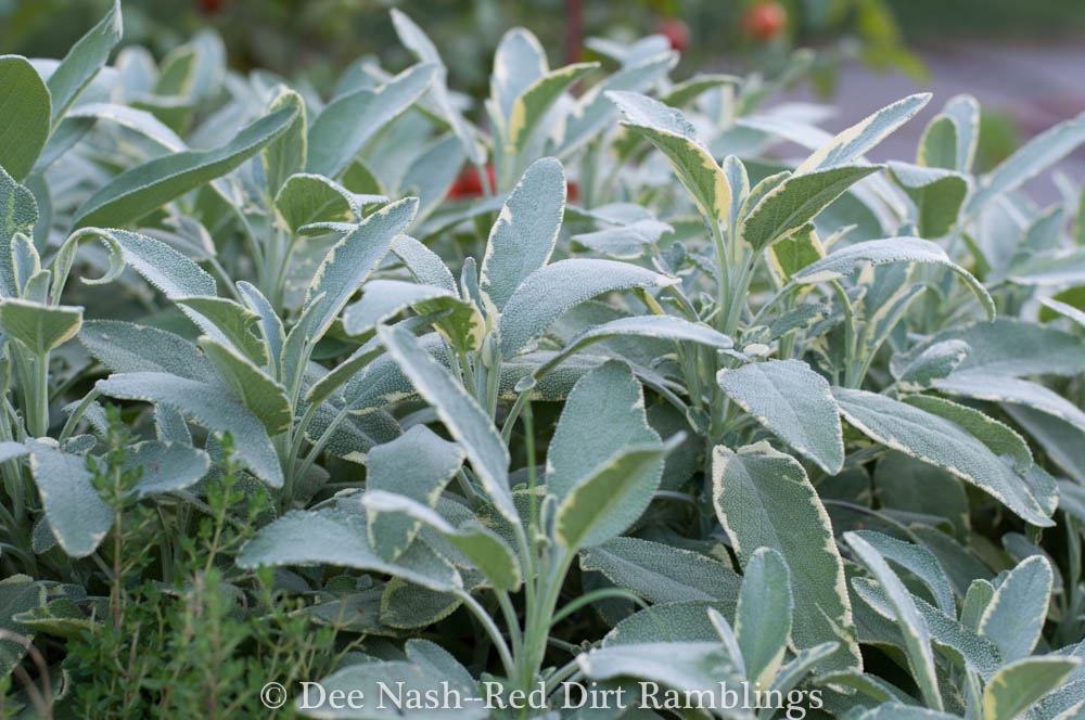 Variegated culinary sage is a perennial herb in my climate.