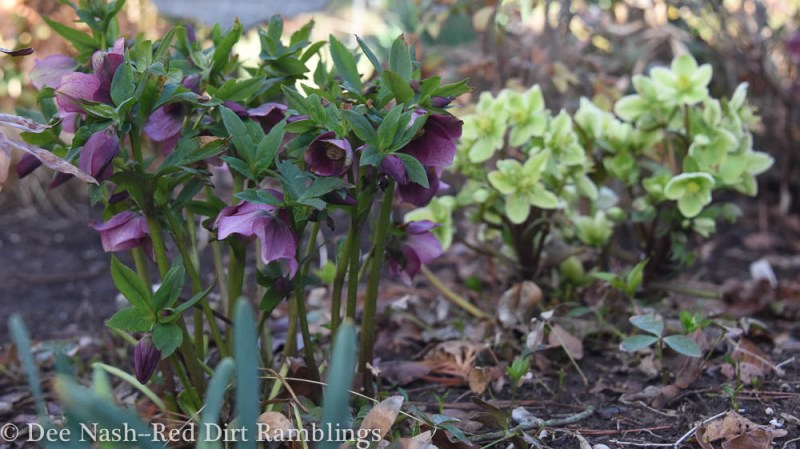 'Blue Lady' and 'Honeyhill Joy' hellebores.
