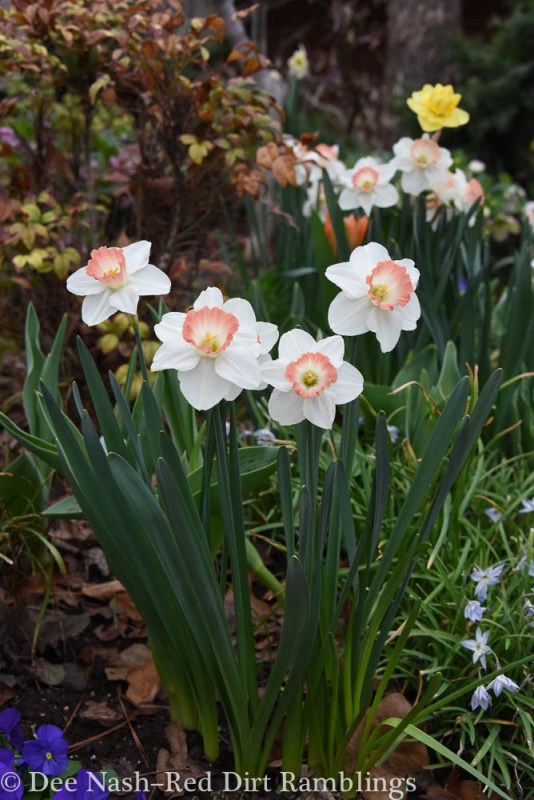 Narcissus 'Pink Charm' And, so it begins