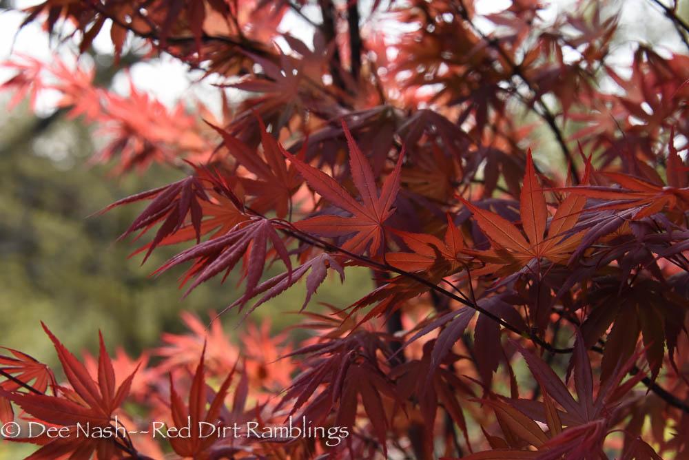 Acer palmatum 'Shindeshojo' on the north side of my garage.