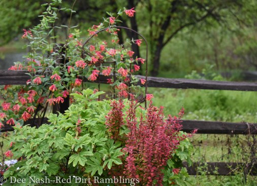 Hydrangea quercifolia 'Ruby Slippers,' Berberis thunbergii 'Orange Rocket,' Lonicera sempervirens, American honeysuckle, the 2014 Wildflower of the Year.