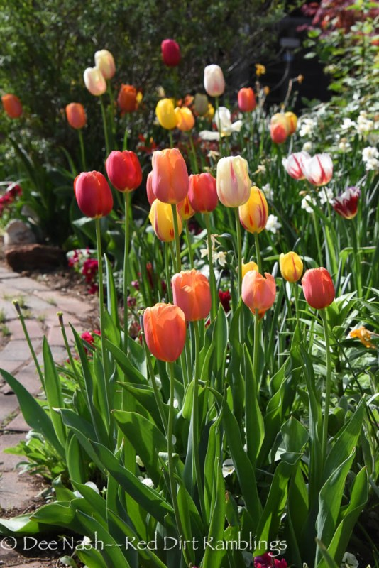 The Scheepers hybrid tulip mix