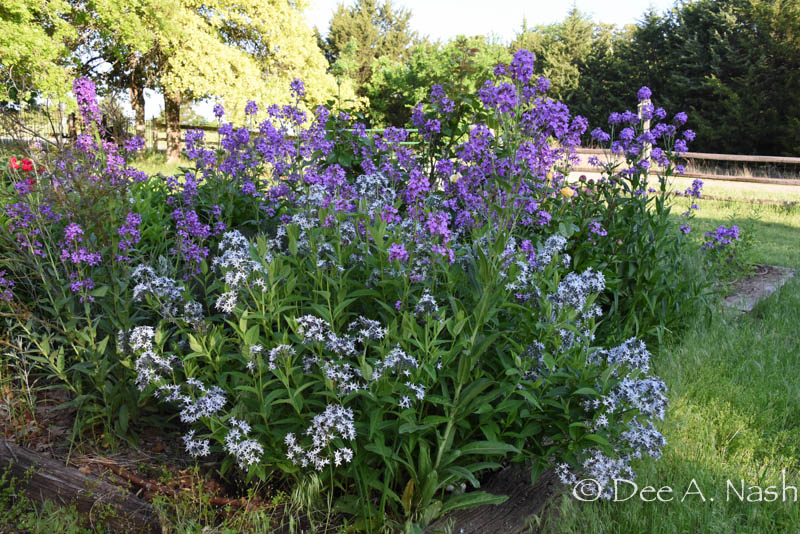 Amsonia 'Blue Ice' with the biennial or short-lived perennial Hesperis matronalis, dame's rocket or sweet rocket. Not that sweet rocket is invasive in some parts of the country.