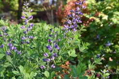 Baptisia 'Purple Smoke' in closeup. Isn't it lovely?
