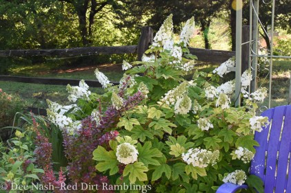 Hydrangea quercifolia 'Ruby Slippers' blooming at the end of the garden.