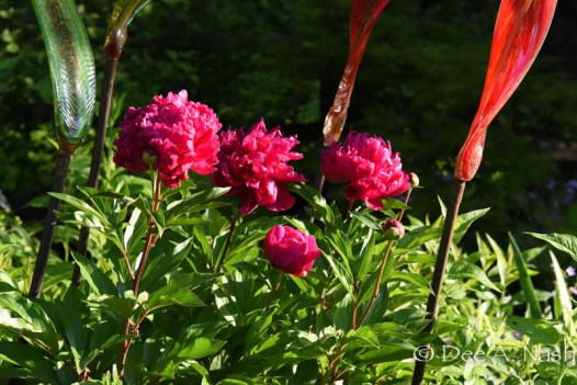 Paeonia 'Karl Rosenfield' double-flowering peony