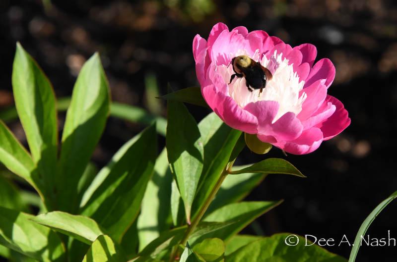 Peony with bumblebee