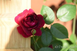 Rosa 'Darcey Bussell'