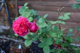 'Sophy's Rose,' an English David Austin introduction that is very happy in my garden.