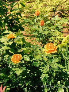 Rosa 'South Africa' in front of Acer palmatum 'Peaches and Cream.'