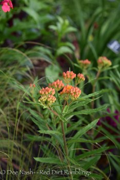 Asclepias tuberosa, butterfly weed.
