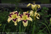 Hemerocallis 'Hold Your Horses' planted near dark purple 'Killer to take advantage of the purple eyezone.