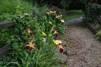 Hemerocallis 'Inky Fingers,' 'Something Marvelous' and 'San Ignacio.' I will probably move 'Inky Fingers' to another spot this fall. I want to put a large pink daylily there. All of the other daylilies in these borders are pink and yellow.
