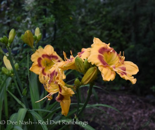 Hemerocallis 'Jedi Tequila Sunrise' (Wedgeworth 1990) is one of my oldest plants, but I love it.