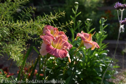 Hemerocallis 'No More Tears' is a good attitude to adopt when gardening.