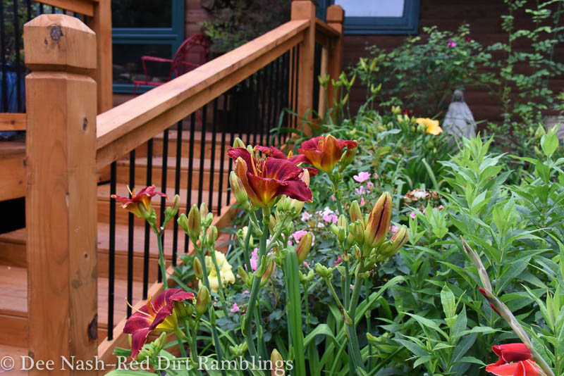 Hemerocallis 'Ruby Sentinel' next to the deck. 'Ruby Sentinel' is an older and inexpensive cultivar.