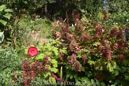 Hibiscus 'Luna' with Orange Rocket barberry and 'Ruby Slippers' oakleaf hydrangea.