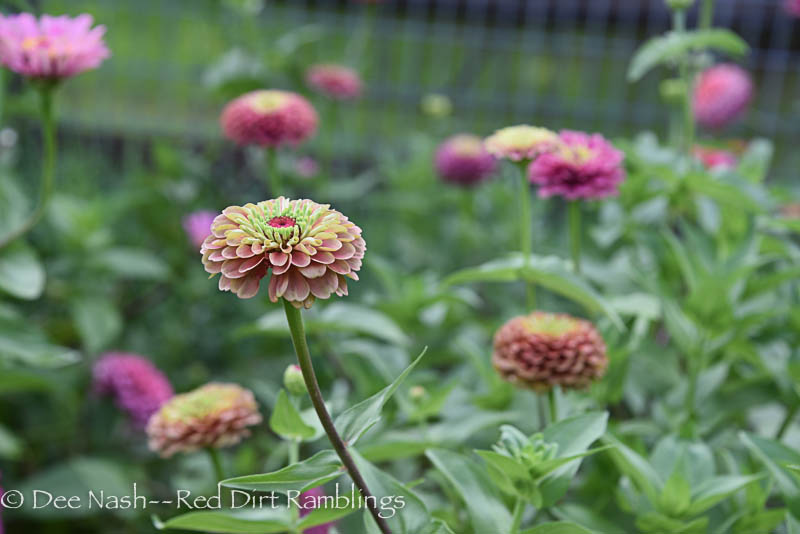 Zinnia 'Queen Red Lime,' one of my favorites, has this crazy kind of Victorian coloration. It looks good with lots of fall-ish flowers.
