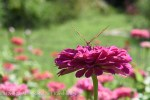 Fritillary butterfly facing me on a Zinnia elegans.