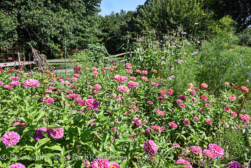 Zinnia elegans in the cutting and vegetable garden.