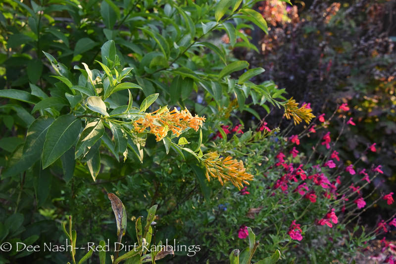Cestrum 'Orange Peel' with 'Pink Preference' autumn sage is one of my favorite plant combos. Both are hardy here. I'm planting them on the other side of the path next spring for symmetry.