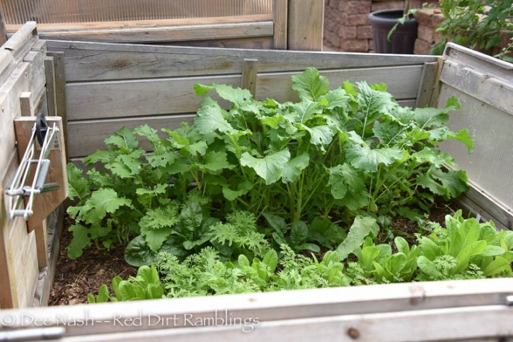 Greens in the coldframe.