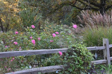 Rosa Carefree Beauty and maiden hair grass both blooming.