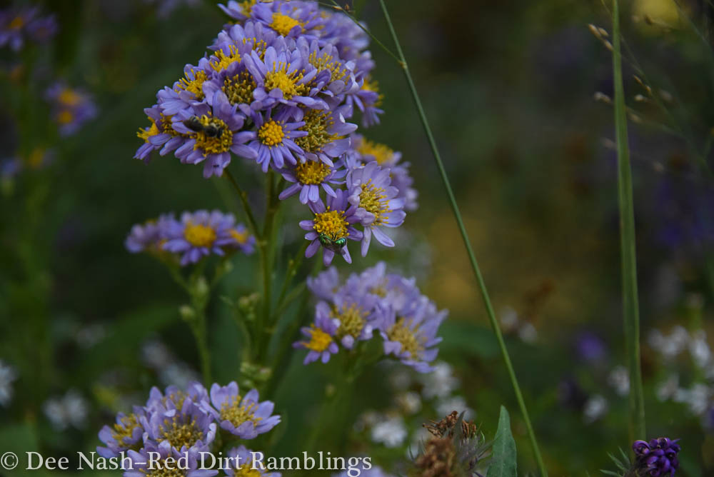 Tatarian asters always look like a bouquet in photos. Do you see the green sweat bee?