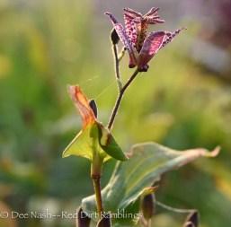 toad liliy, Tricyrtis spp