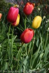 Avignon, Mrs. John T. Scheepers and La Courtine tulips from the Scheepers Hybrid mix.