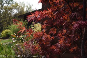 Acer palmatum 'Shindeshojo' and a peak at the garage border.