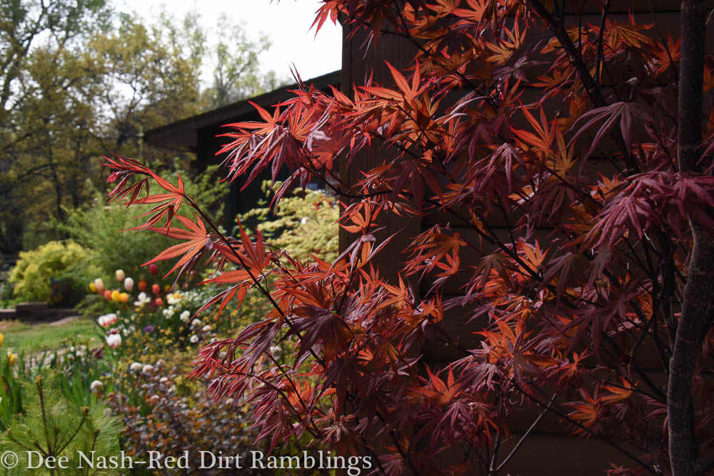 Acer palmatum 'Shindeshojo' and a peak at the garage border.
