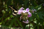 Giant Swallowtail on Bright Eyes phlox.