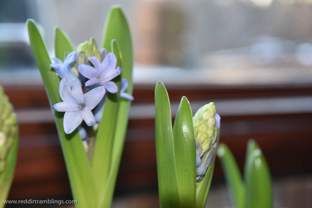 Hyacinths are starting to peek out from behind their leaves. Some won't bloom all the way in spite of my chilling period.