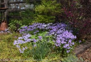 Phlox divaricata and Chinese fringe flower in the shade garden.
