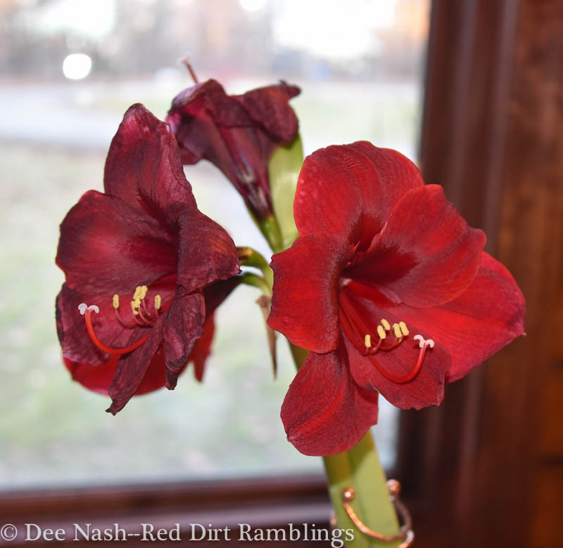 One stem of Hippeastrum 'Red Pearl' is starting to fade, but this amaryllis sent up another stalk this week. Bigger bulbs mean more blooms.