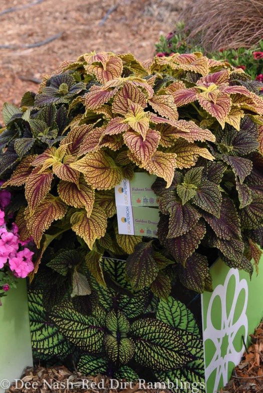 Coleus 'Golden Dreams' and 'Fishnet Stockings' seen at CAST. Note in Oklahoma's climate, 'Fishnet Stockings' needs some shade to perform at its best. I don't know about 'Golden Dreams.'