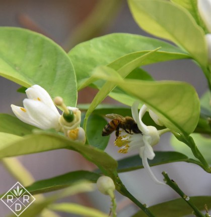 Honeybee flying in to pollinate an orange blossom.