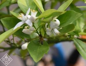Honeybee pollinating orange blossoms.