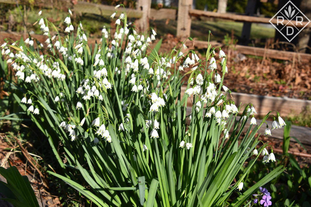 Leucojum aestivum is one of the best bulbs for naturalizing in our gardens. I started with a few from Leslie in California. Now, I'm giving bunches away.