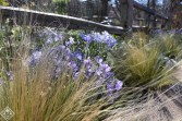 Phlox divaricata, woodland phlox with Nassella tenuissima, Mexican feather grass