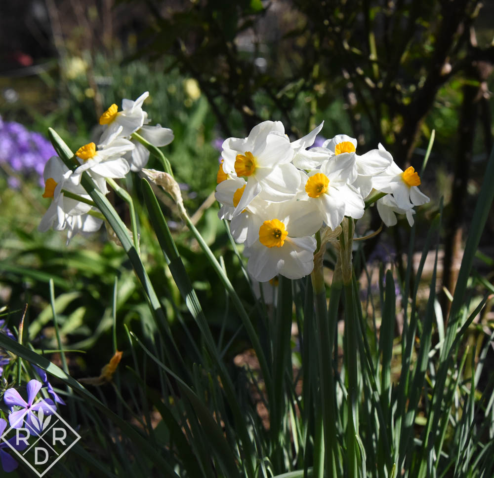 Found the name of this daffodil in an earlier post. It's Narcissus 'Geranium.'