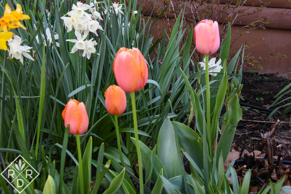 Apricot tulips, part of the Van Engelen blend. I like these blends a lot.