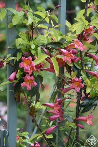 This isn't trumpet vine which is invasive. This is Bignonia capreolata, crossvine 'Tangerine Beauty' a native vine.