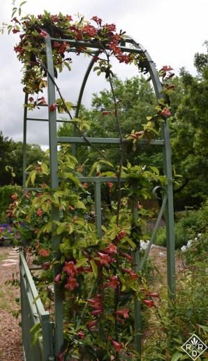 Another shot of Bignonia capreolata, crossvine 'Tangerine Beauty.'